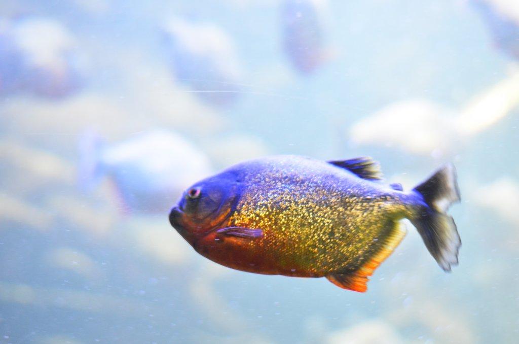 """Brokatowa rybka"" w Palma Aquarium (fot. M. Armata)"