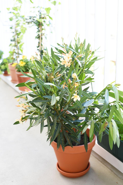 Oleander na balkon | Polenka.pl