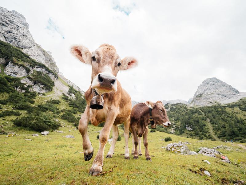 Szwajcarskie krowy | Polenka.pl