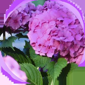 Znaczenie kolorów kwiatów - fioletowy